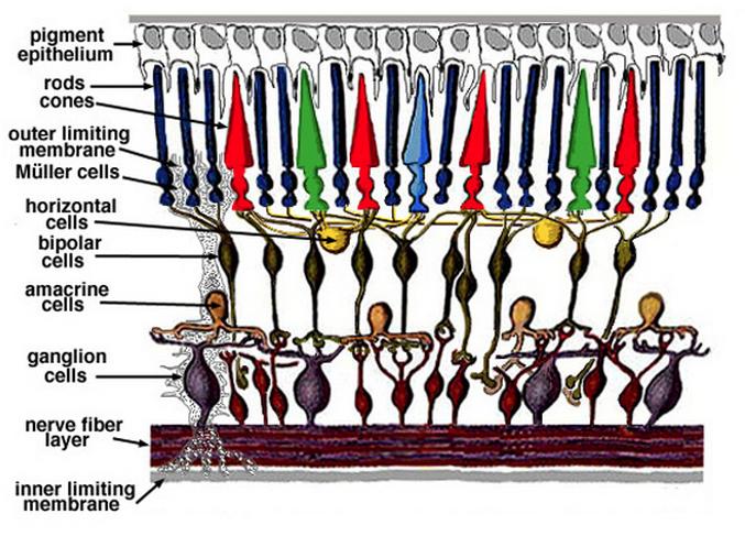 Retina Model Helga Kolb