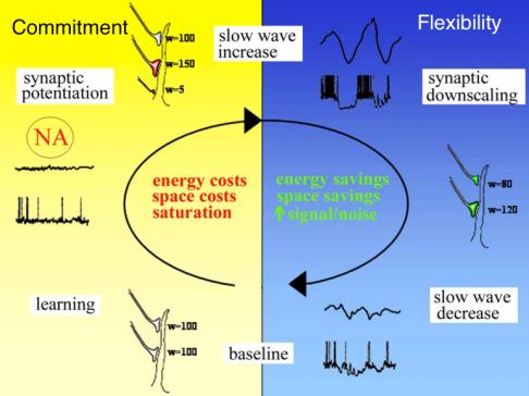 the sleep homeostasis hypothesis by Tononi and Cerelli; modified from doi:10.1016/j.smrv.2005.05.002